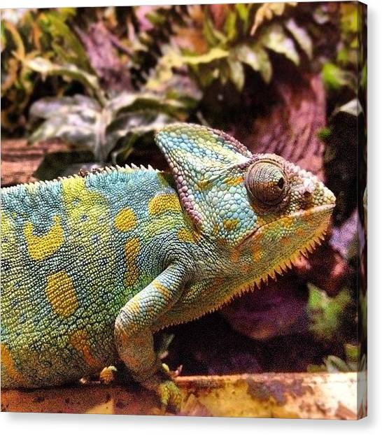 Lizards Canvas Print - #chameleon #closeup #lizard #animal by Nathan Clarke