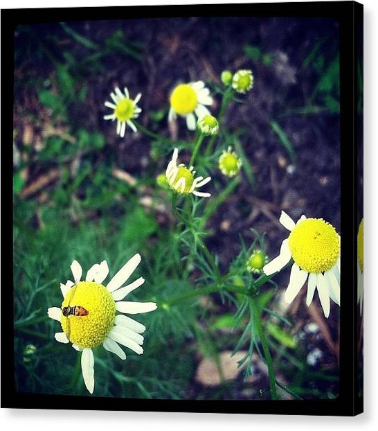 Tea Canvas Print - #chamomile #bee #pollen #getthatpollen by Dave L