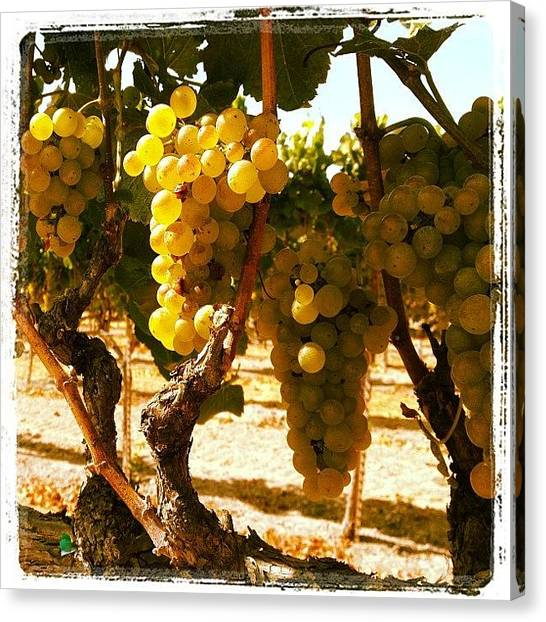 Wine Canvas Print - Chardonnay In Black Emerald Vineyard by Eric Kent Wine Cellars