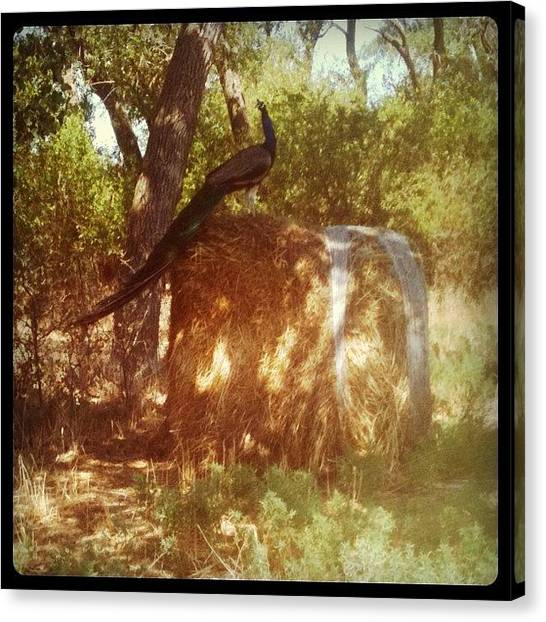 Knights Canvas Print - Chasing Peacocks At My Uncles Farm :) by Chels Knight