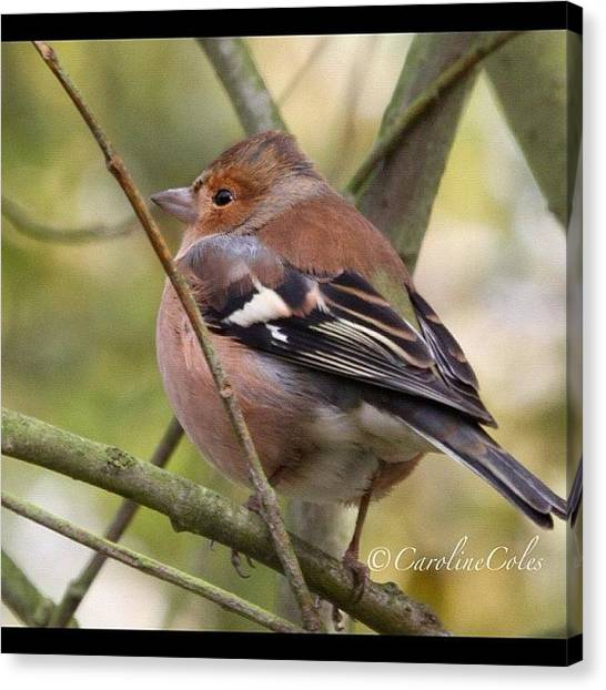 Ornithology Canvas Print - Cheerful Chaffinch All Fluffed Up by Caroline Coles
