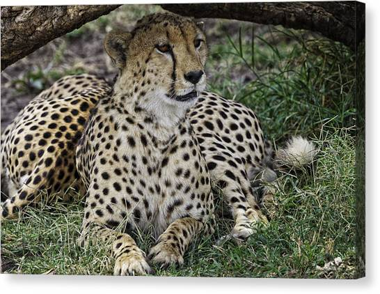 Cheetah Alert Canvas Print