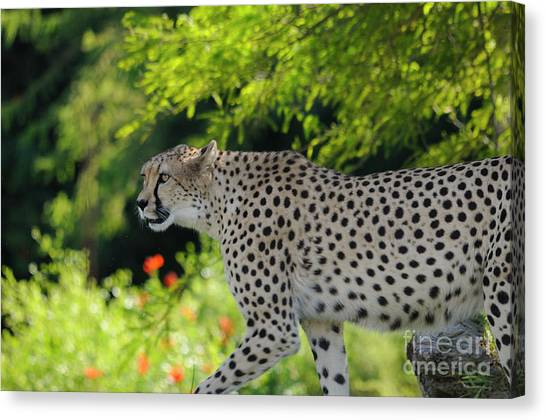 Cheetah Canvas Print by Marc Bittan