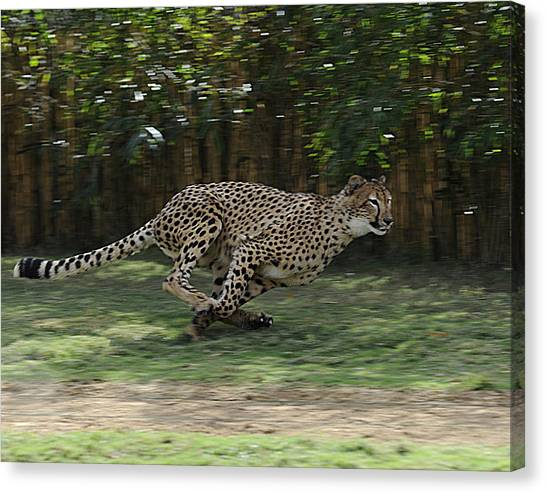 Cheetah Run Canvas Print