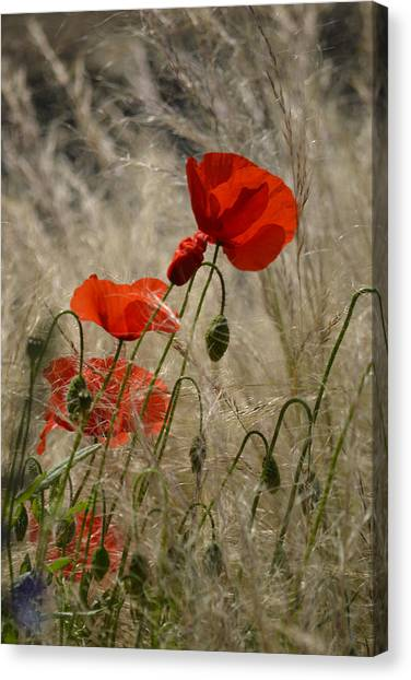 Chelsea Poppies I Canvas Print by Dickon Thompson