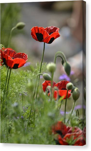 Chelsea Poppies II Canvas Print by Dickon Thompson