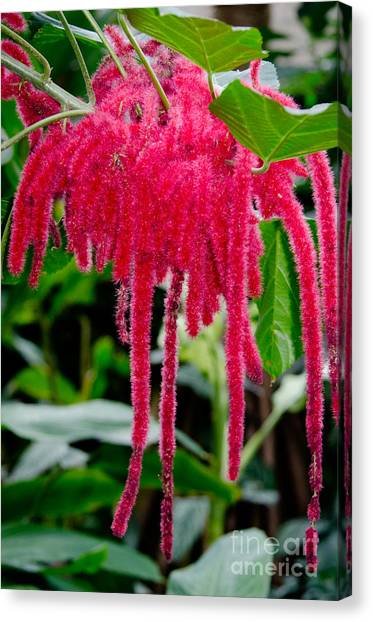 Andy Bloom Canvas Print - Chenille Flowers Acalypha Hispida Indonesia by Andy Smy