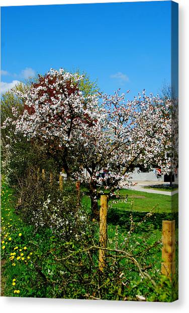 Cherry Blossom Canvas Print by Peter Jenkins