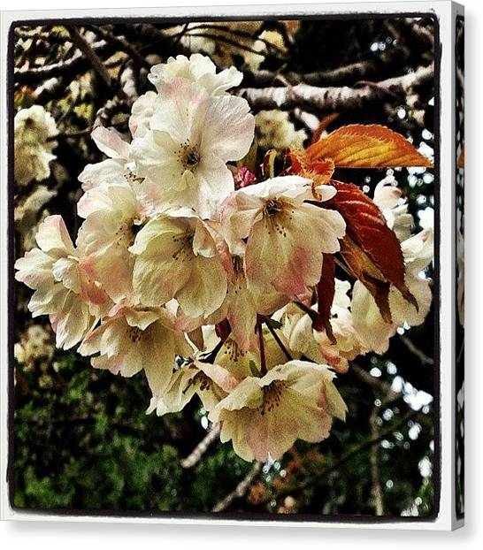 Fruit Trees Canvas Print - #cherry #blossom #tree #flowers #flower by Miss Wilkinson