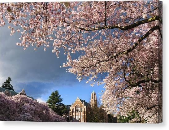 University Of Washington Canvas Print - Cherry Blossoms At University Of Washington by Greg Vaughn