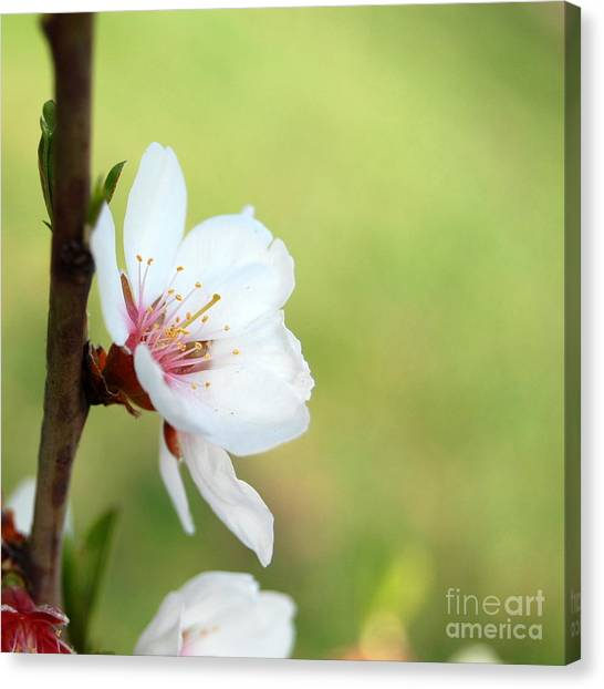 Cherry In Green Canvas Print