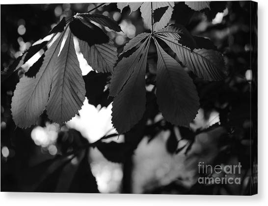 Chestnut Leaves Canvas Print
