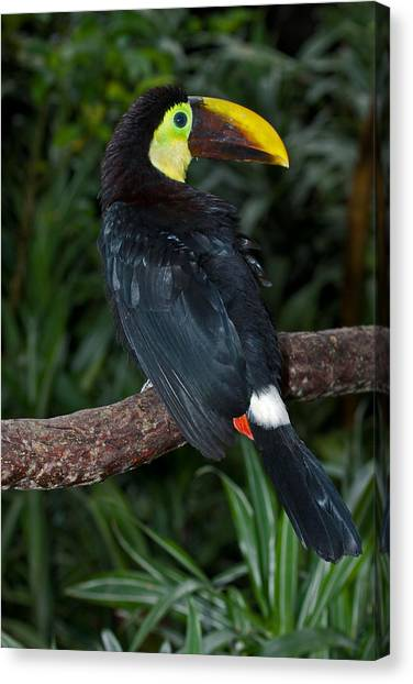 Chestnut-mandibled Toucan At La Paz Waterfall Gardens Canvas Print