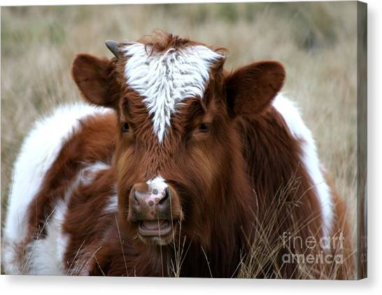 Chewing The Cud Canvas Print