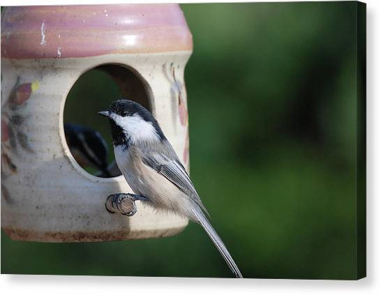 Chickadee Posing At Feeder Canvas Print