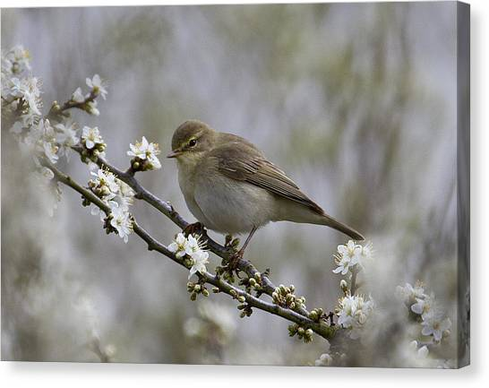 Chiff Chaff On Blackthorn Blossom Canvas Print
