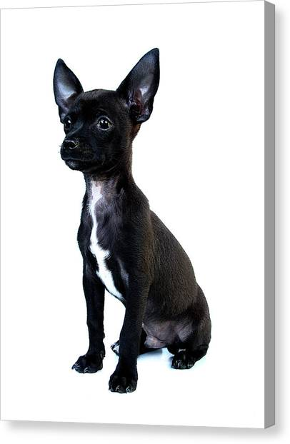 Chihuahua Puppy Canvas Print by Hapa