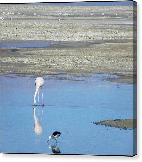 Flamingos Canvas Print - #chile#salar De by Sandra Lira