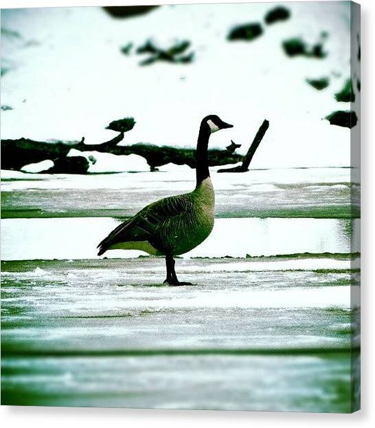 Geese Canvas Print - Chillin  by Kev Thibault