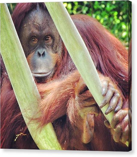 Orangutans Canvas Print - #chilling #nationalzoo #zoo #orangutan by Loren Southard
