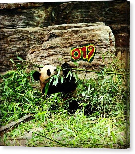 Panda Canvas Print - #china #panda #eating #time #instagood by Omar Alzaabi