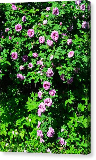 China Rose Canvas Print