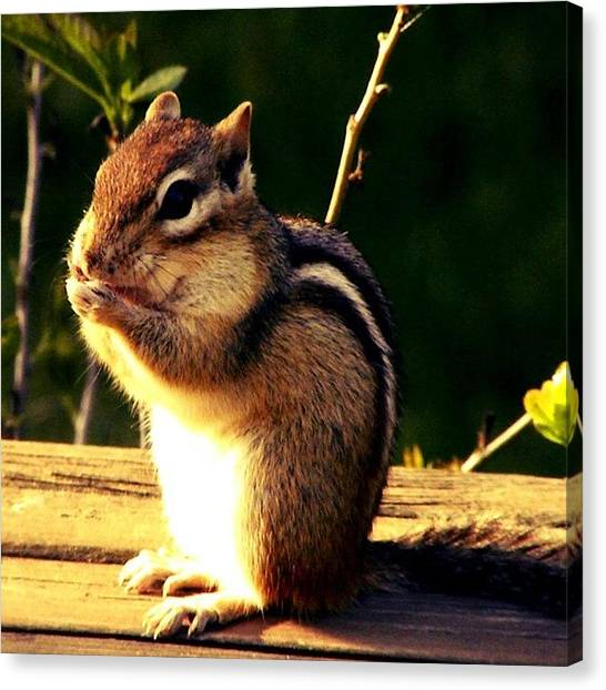 Tools Canvas Print - #chipmunk #animals #animal #nikon #l4l by Jessie Schafer