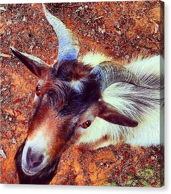 Goats Canvas Print - Chocco #goat #photooftheday #photofans # by Stephanie Thomas