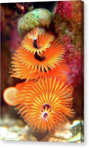 Christmas Tree Worm Canvas Print