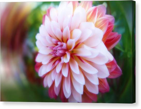 Chrysanthemum Revelation Canvas Print