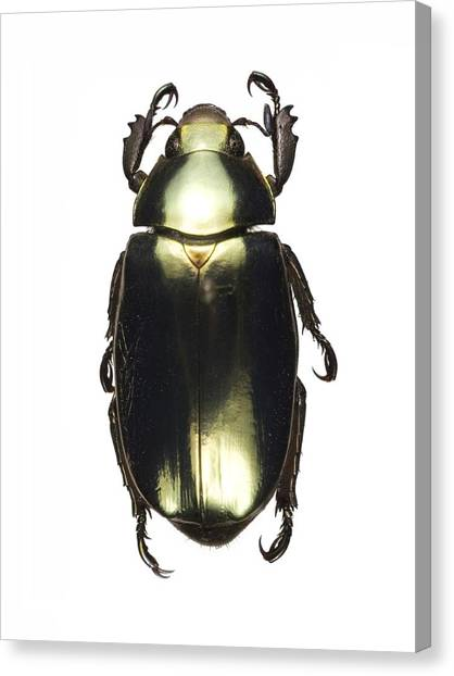 Costa Rican Canvas Print - Chrysina Scarab Beetle by Lawrence Lawry