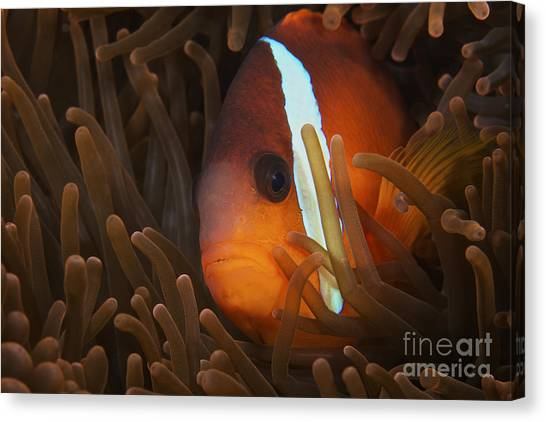 Amphiprion Melanopus Canvas Print - Cinnamon Clownfish In Its Host Anemone by Terry Moore