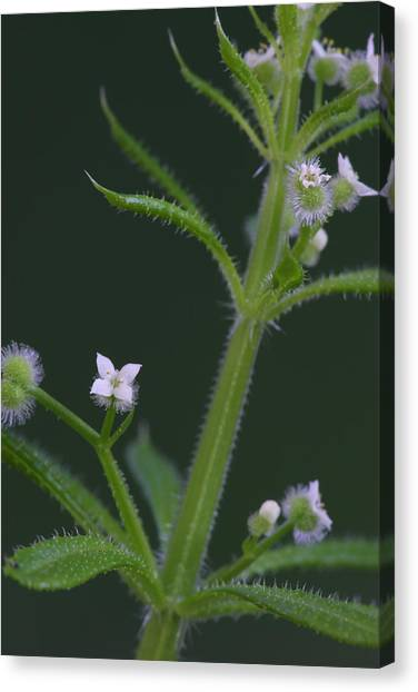 Cleavers Canvas Print