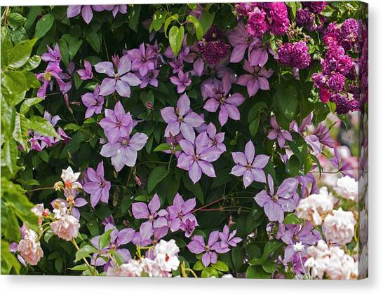 Clematis 'margaret Hunt' Canvas Print by Dr Keith Wheeler