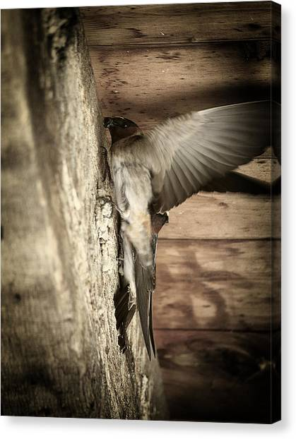 Cliff Swallows 2 Canvas Print by Scott Hovind