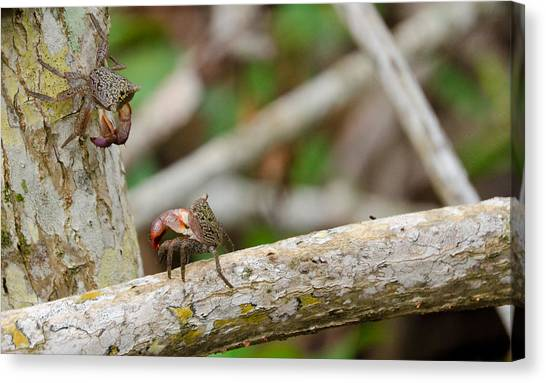 Climbing Crabs Canvas Print by Mike Rivera