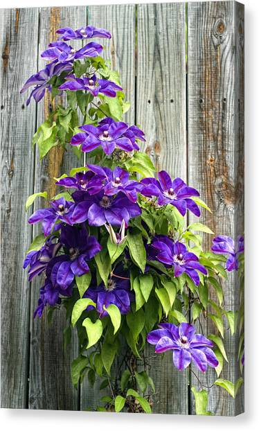 Climbing Purples Canvas Print by Laura George