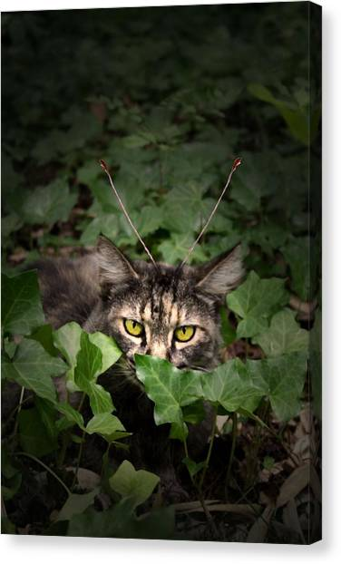 Manx Cats Canvas Print - Clippy In The Ivy by Kathleen Horner