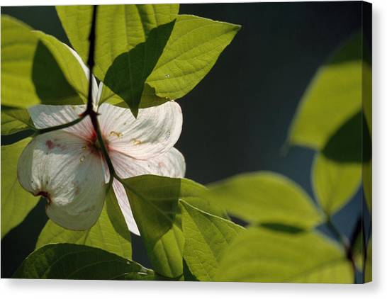 Mammoth Cave Canvas Print - Close Up Of A Dogwood Flower And Leaves by Raymond Gehman