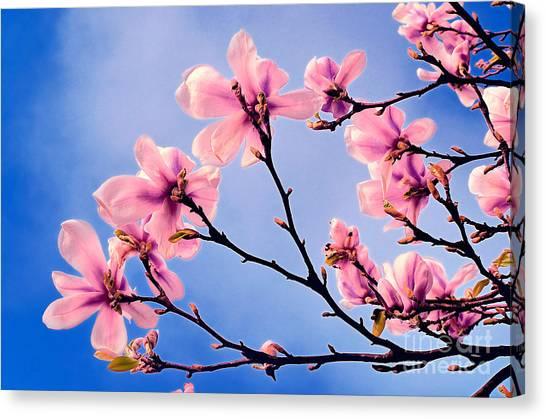 Cherry Blossums Canvas Print