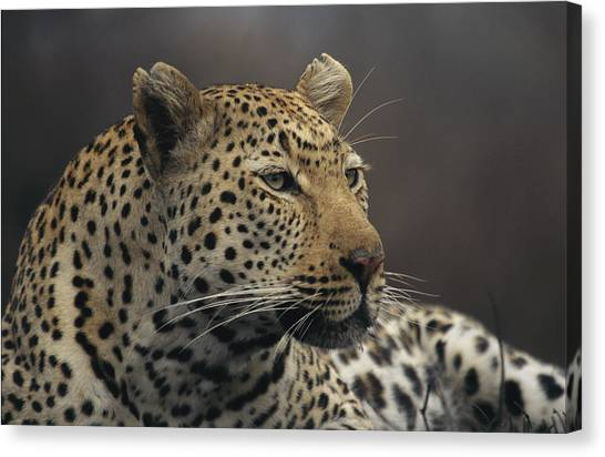 Republic Of South Africa Canvas Print - Close View Of A Leopard Panthera Pardus by Kim Wolhuter