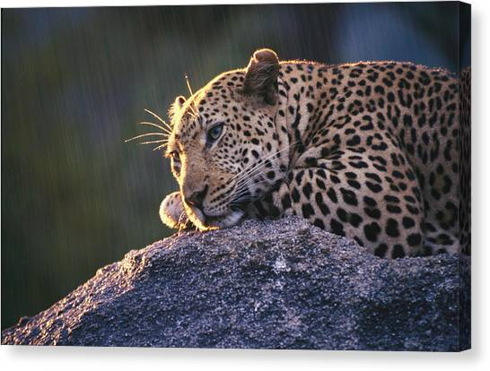 Republic Of South Africa Canvas Print - Close View Of A Leopard Sunning Himself by Kim Wolhuter