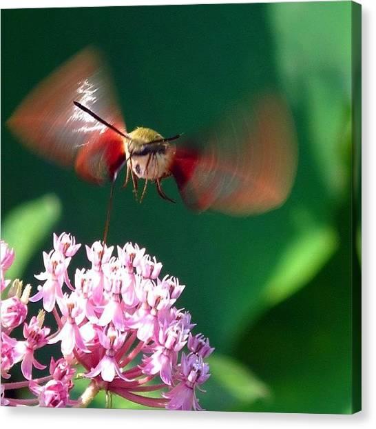 Hummingbirds Canvas Print - #closeup #macro #nature #flowers #hawk by Dccitygirl WDC