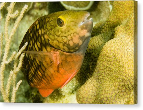 Stoplights Canvas Print - Closeup Of A Stoplight Parrotfish by Tim Laman