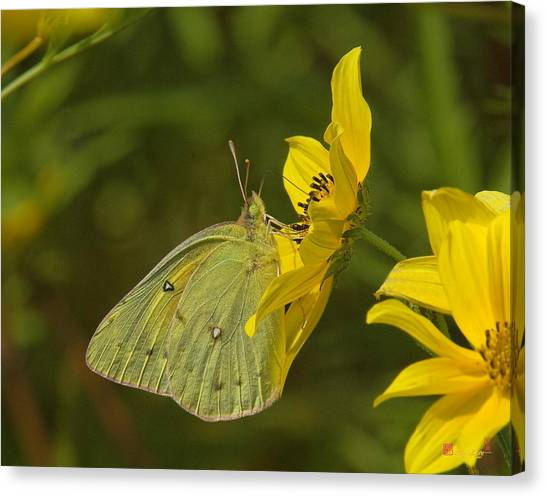 Clouded Sulphur Butterfly Din099 Canvas Print