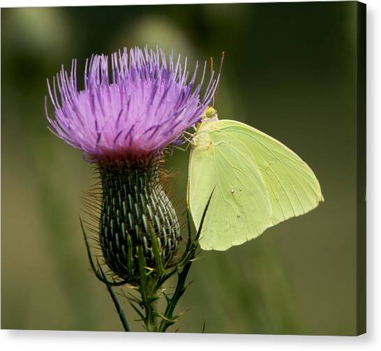 Sulfur Butterfly Canvas Print - Cloudless Sulfur Butterfly On Bull Thistle Wildflower by Kathy Clark