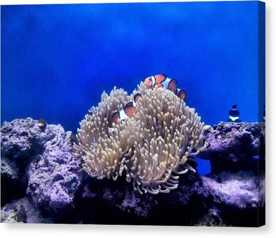 Clown Fish Resting Canvas Print