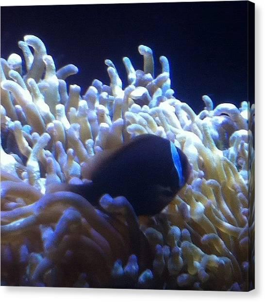 Back Canvas Print - #clownfish #fish #aquarium #cool by Andres Correa