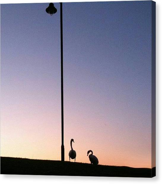 Swans Canvas Print - #colintheswan #cts #brenda:-  #colin by Kevin Zoller