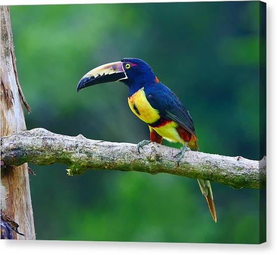 Collared Aracari Canvas Print